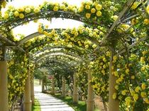 バラの回廊2