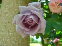 ハイジの村のバラ3