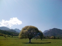 清里のシンボルツリー県営八ヶ岳牧場の「ヤマナシの木」