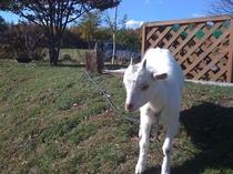 赤ちゃんの頃のヤギの「だいち」
