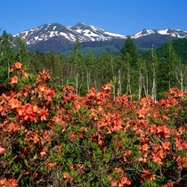 春 つつじが咲き乱れる一ノ瀬園地より乗鞍岳を望む