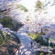 桜(イメージ)