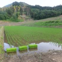 *【周辺】お米はミネラルたっぷりの伏流水を使って栽培。つや、香り、粘り、甘味を与えてくれます。