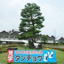 国の特別天然記念物タンチョウ