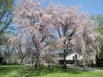 枝垂れ桜 (四月中旬が見頃)