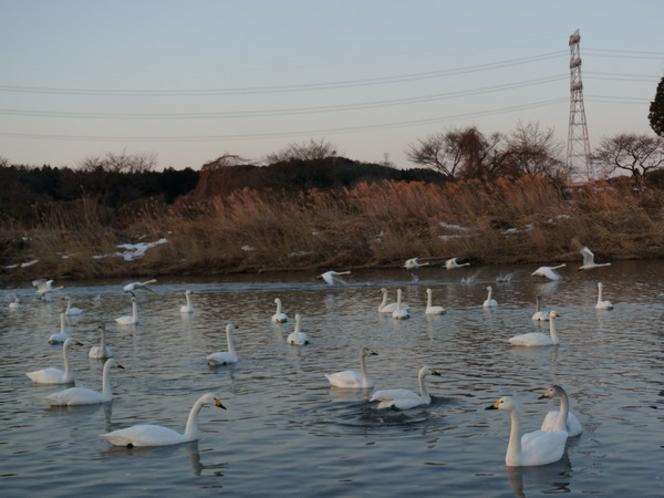 鬼怒川で羽を休めている白鳥たち!