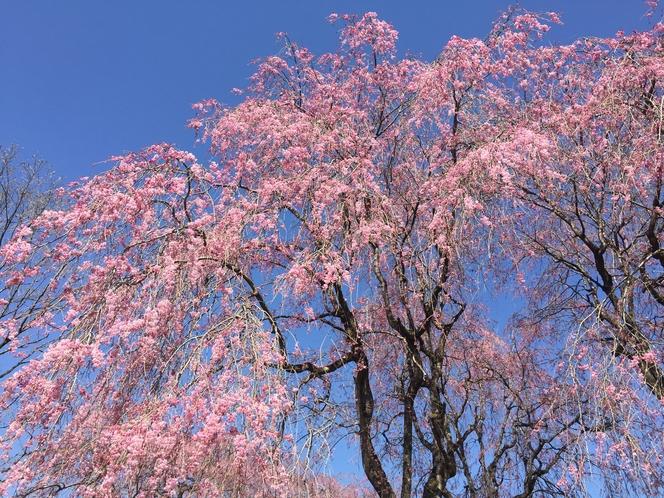 2017年4月16日 枝垂れ桜