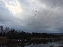 夕方に鬼怒川に戻ってくる白鳥たち
