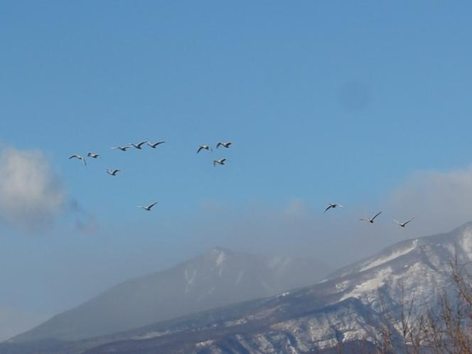 日光連山を背景に旋回する白鳥たち_2018