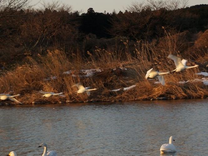 飛び立つ白鳥たち!