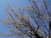 露天風呂から眺める満開の梅