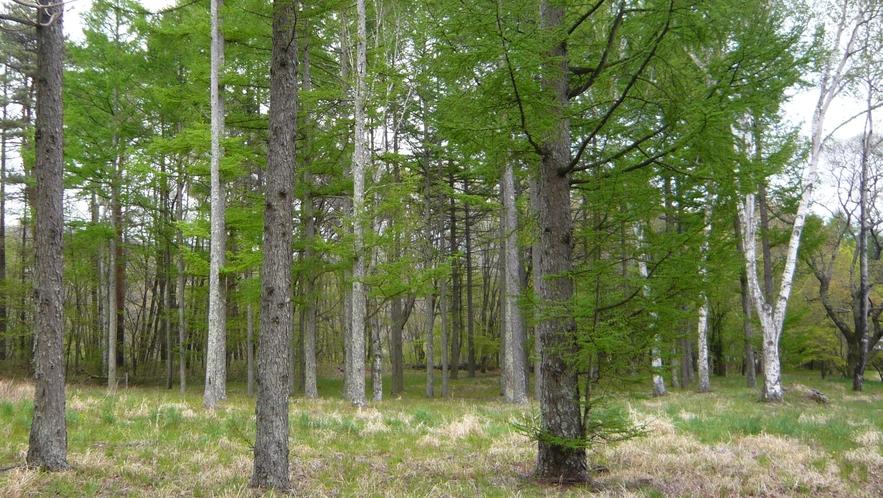 5月になると、コテージの後ろの林でカラマツの芽吹きが始まります。それはきれいです。
