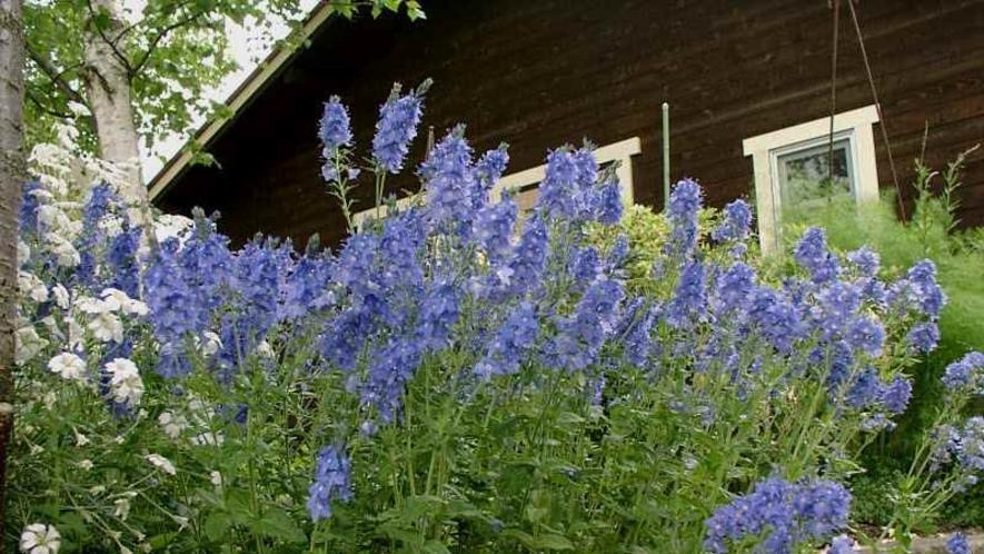 初夏には爽やかなブルーの花がいっぱいです。
