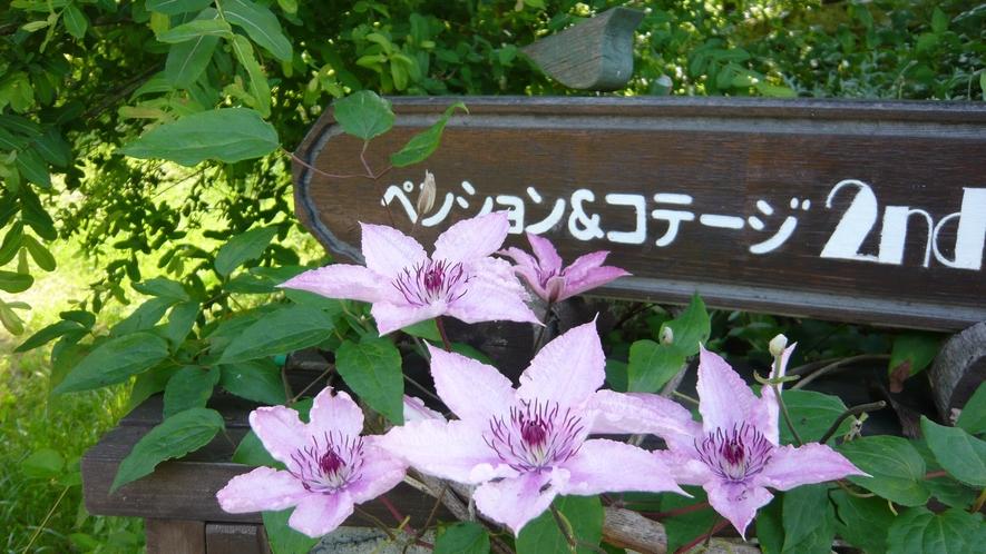 毎年元気に咲いてくれるクレマチス。