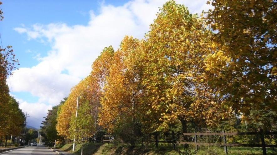 牧場通りのユリノキ並木の紅葉の美しさは圧巻です。