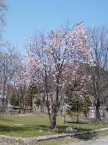 ぬかびら温泉の桜!
