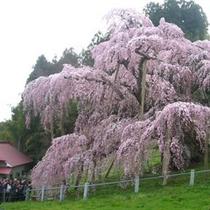 三春滝桜には毎年多くの観桜客がきます!