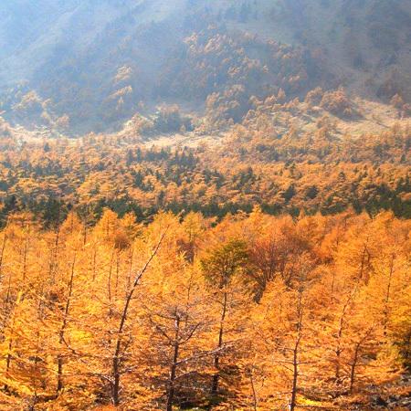 時間によって、金色色に輝く紅葉をご覧いただけます。