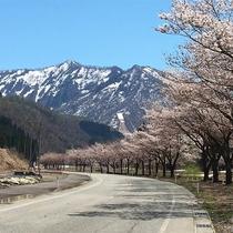 *周辺風景/残雪の残る山並みと桜並木、春の美しい風景。