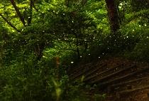 竜王山公園 ヒメボタル