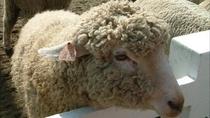 *マザー牧場羊