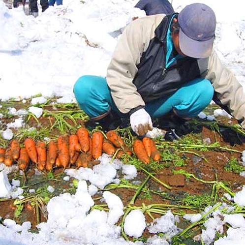 【雪下にんじん収穫体験】ここでしか味わえない甘みたっぷりの人参を、雪の中から掘り出しましょう!