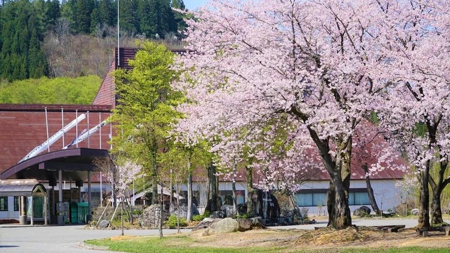 【ホテル周辺(春)】雪が解け、春の訪れと共に桜が開花します。≪見頃:4月下旬≫