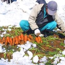 *【雪下にんじん収穫体験】ここでしか味わえない甘みたっぷりの人参を、雪の中から掘り出しましょう!