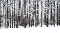 【周辺風景】 雪と白樺