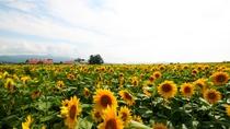 【周辺風景】ひまわり畑