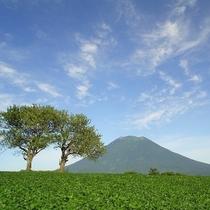 羊蹄山とさくらんぼの木
