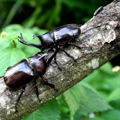 【夏休み企画】カブトムシ・クワガタ 昆虫採集体験♪♪大人も楽しめて森林で深呼吸〜【家族旅行応援】