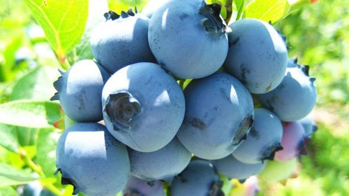 【本館】夏限定 ブルーベリー収穫体験チケット付宿泊プラン