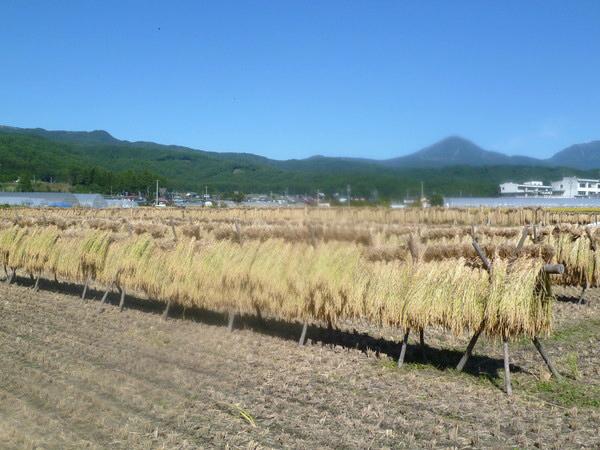 はぜかけ米の収穫