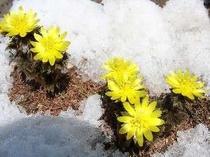 南十字星の庭に咲く福寿草