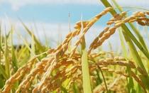 お米は有機栽培のコシヒカリ 炊き立てで出されます。