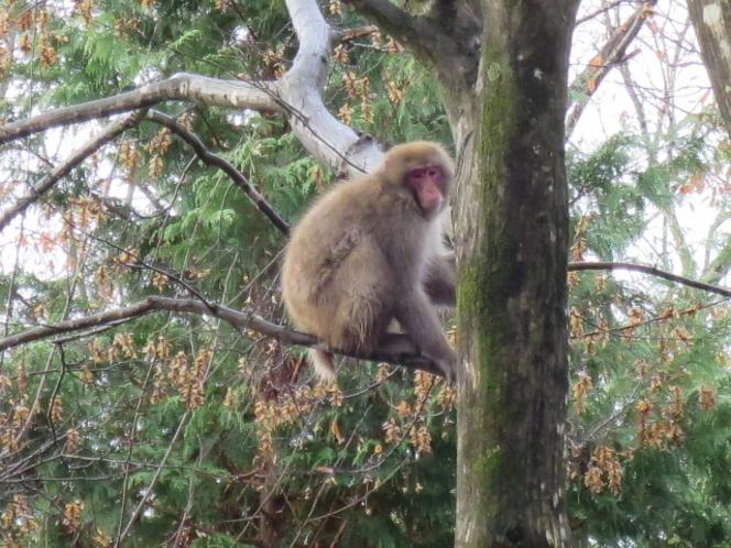 時々猿が散歩しています
