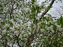 純白のゴヨウツツジ 5月