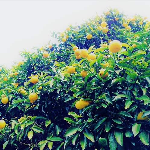 【秋・冬・春・初夏】10~6月 東伊豆 蜜柑・オレンジ狩り 当館から車で1分 夏以外ミカン好きはぜひ
