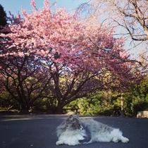早春の庭 河津より少し遅れて満開 猫スタッフもお花見です