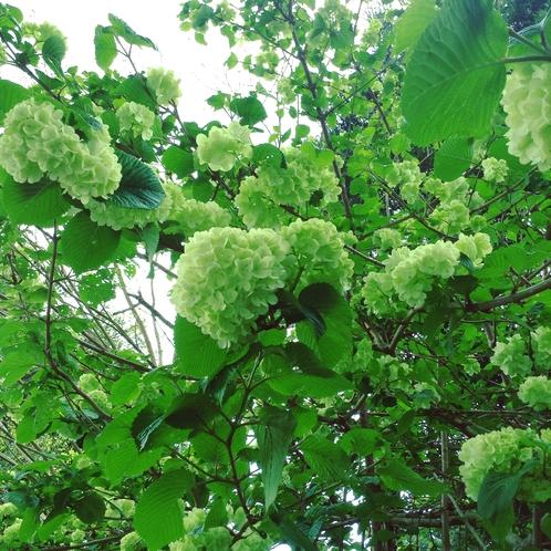 【風景】春の庭 おおでまり 冬から初夏は花のリレー