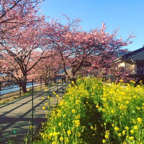 【早春のおすすめ】2/10~3/10 河津桜まつり 見頃宣言後約2週間は混雑必至 できれ土日を避けて