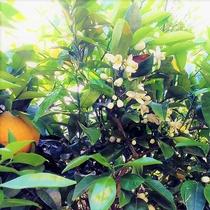 【5月限定】ミカンの花の甘く官能的な香り 伊豆ドライブはぜひ窓を開けて