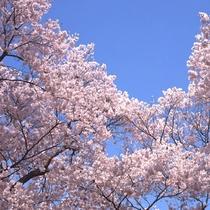 【春】春といえば桜~内浦山県民の森(車で約10分)※見頃は4月上旬頃