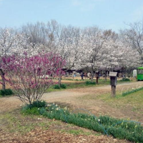 【春のさくら】秩父ふるさと村の桜