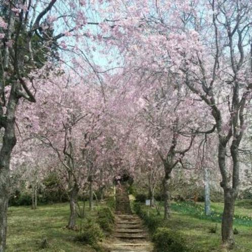 しだれ桜(車で約10分)