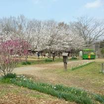ふるさと村の桜並木