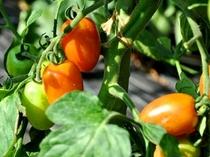 自家菜園:ミニトマト