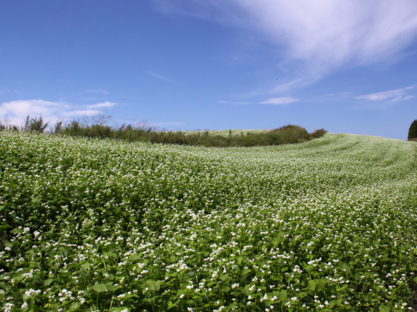 【観光】阿蘇のそば畑