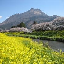 春の訪れと共に彩られた由布岳